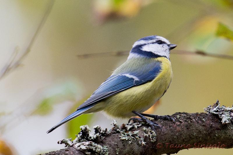 Suomen linnut aakkosjärjestyksessä